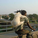 goat going for a ride 4298